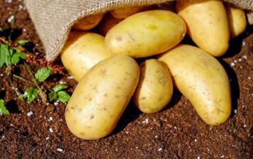 Organic Challenger Potatoes